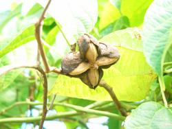 グリーンナッツオイル インカインチ